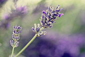 Lavender, Lavabdula, Mauved coloured flowers growing outdoor.