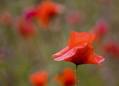 Poppy, Papaver, Side view of red coloured flower with delicate petals growing outdoor.
