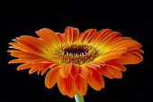 Gerbera, Asteraceae, Studio shot of orange coloured flower showing petals and stamen.