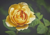 Rose, Rosa, Close-up of yellow coloured flower growing outdoor.