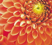 Dahlia, Close-up of orange coloured flower showing petal pattern.