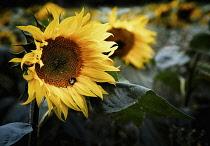 Sunflower, Helianthus, Bee on flower growing outdoor in a field.