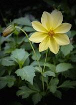 Dahlia, Dahlia Dissecta, Yellow coloured flower growing outdoor.