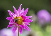 Dahlia, Bumble bee on pink coloured flower growing outdoor.