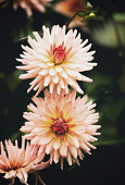 Dahlia, Pink coloured spikey flowers growing outdoor.