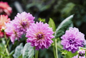 Dahlia, Pink coloured  'Pom Pom' flower growing outdoor.