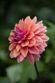 Dahlia, Side view of single orange coloured flower growing outdoor.
