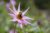 Dahlia, Bumble bees on pink coloured flower growing outdoor.