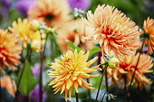 Dahlia, Mass of orange coloured flowers growing outdoor.
