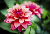 Dahlia, Pink coloured shaggy flower growing outdoor.