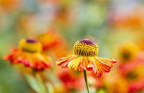 Sneezeweed, Helenium 'Moerheim Beauty', Orange coloured flowers growing outdoor.