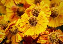 Sneezeweed, Common sneezeweed, Helenium 'Moerheim Beauty', Orange coloured flower growing outdoor with petals and stamen visible.