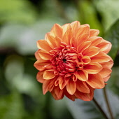 Dahlia, Orange coloured single 'Pom Pom' flower growing outdoor.