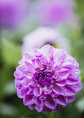 Dahlia, Purple coloured single 'Pom Pom' flower growing outdoor.