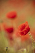 Poppy, Papaveraceae, Side view of red coloured flower growing outdoor.