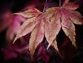 Maple Leaf, Acer, A cascade of red Maple autum leaves at Batsford Aboretum, Gloucestershire.