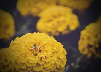 Hydrangea, Hydrangea Macrophylla,  A bee on the yellow Hydrangea in garden.