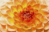 Dahlia, Close up of orange coloured flower showing petal pattern.