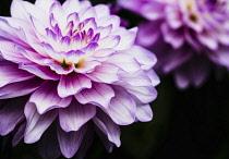 Dahlia, Close -up of Lilac & Cream coloured flower showing petals.