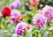 Dahlia, Various colours of flowers growing outdoor in garden.
