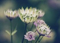 Astrantia, Great Masterwort, Astrantia Major, Side view of opening flowers.