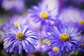 Asters, Asteraceae, Close-up view of two purple flowers with yellow stamen.