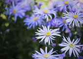 Asters, Asteraceae, Close-up view of flowers with yellow stamen growing outdoor.