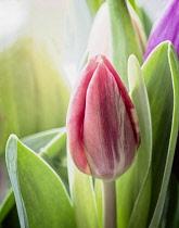 Tulip, Tulipa, Studio shot close-up of flowers in a vase.
